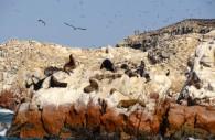 Îles Ballestas, réserve de Paracas