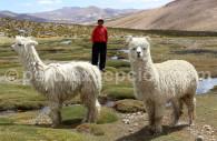 L'alpaca