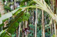 banane plantain, cc pixabay
