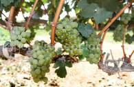 Raisins de la bodega Tacama