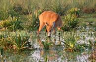 Le cerf des marais