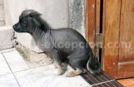 Le chien sans poil du Pérou