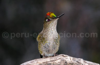 Le colibri du Chili ou austral