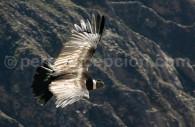 Condor dans les Andes péruviennes