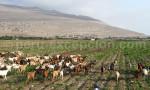 Elevage de chèvres au Pérou