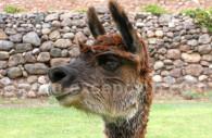 Un lama péruvien