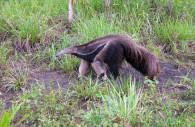 Le tamanoir, ou fourmilier géant