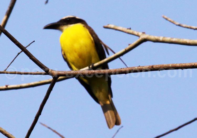 Faune aviaire petits oiseaux du p rou for Oiseau ventre jaune