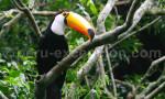 Le toucan toco
