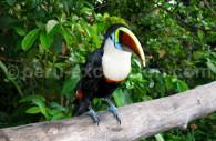 Le toucan à bec rouge