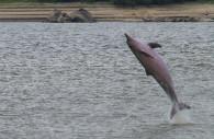 Le dauphin de l'Amazone – Licence CC