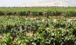 Vignes de la bodega Tacama