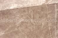 Flamand Rose de Nazca