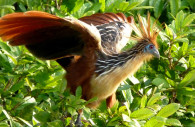 Hoatzin, Amazonie