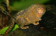 Callithrix pygmée au parc d'Otishi