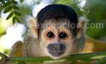 Singe Ecureuil, Amazonie, Pérou