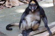 Le singe araignée ou atèle, Pérou