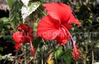 Fleur d'hibiscus, Pérou