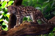 Le Margay ou chat-tigre, Pérou