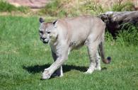 Le Puma Concolor, Pérou