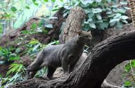 Le Puma Yaguarundi