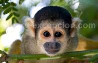 Singe, faune amazonie