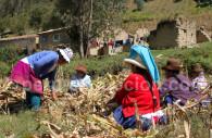 Récolte du maïs, Cordillère Blanche