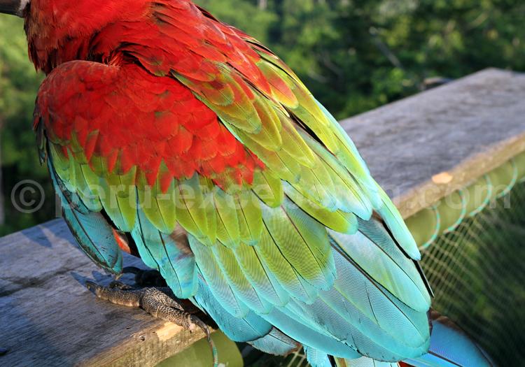 Plumes de Ara, Amazonie