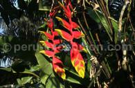 Bec de perroquet, flore du Pérou