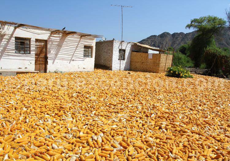 Récolte de maïs, Pérou