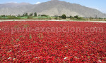 Champs de piments rouges