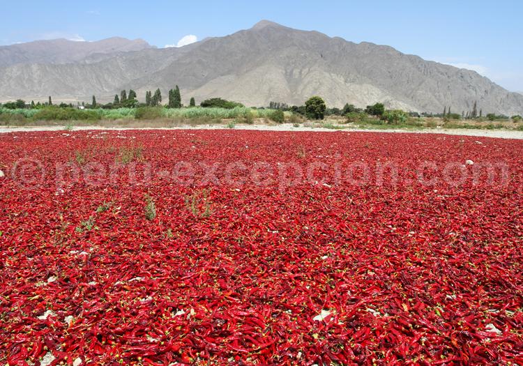 Champs de piments rouges