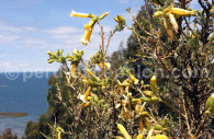 Cantuta Pyrifolia
