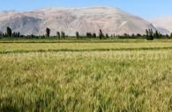 Culture de blé, Vallée de Majes