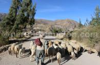 Elevage de moutons, Colca