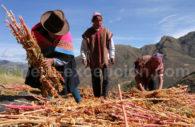 Récolte du Quinoa, Cusco