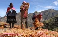 Tri du quinoa, Vallée Sacrée