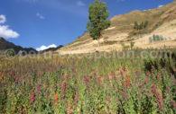 Champs de quinoa, Cusco, Pérou