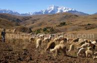 Troupeau de lamas, Vallée Sacrée