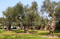 L'oliveraie classée monument national