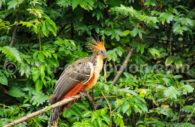 Hoazin Huppé, Amazonie