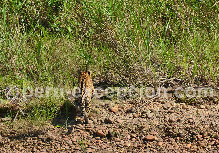 Jaguar, Amazonie, Pérou