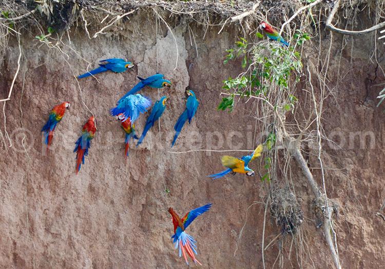 Aras, Amazonie, Pérou