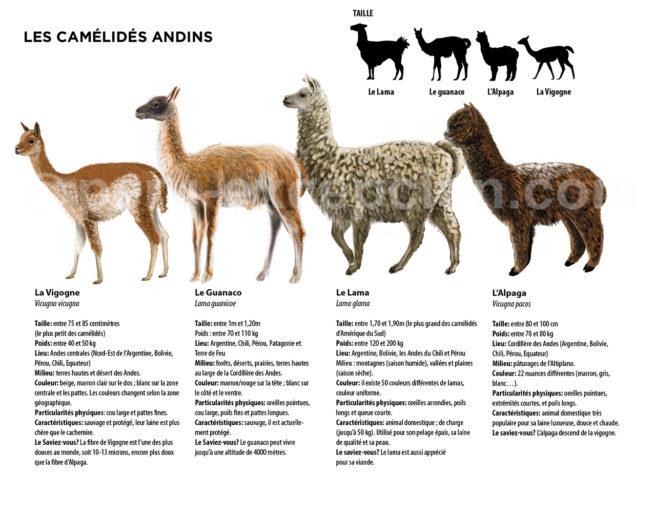 Infographie des camélidés du Pérou avec Perú Excepción