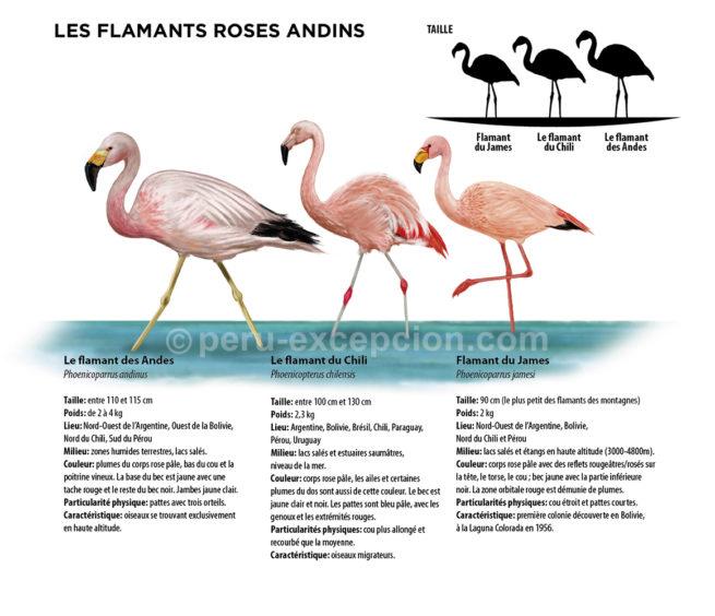 Infographie des flamants roses au Pérou avec Perú Excepción